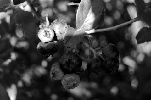 berries-bw-web.jpg