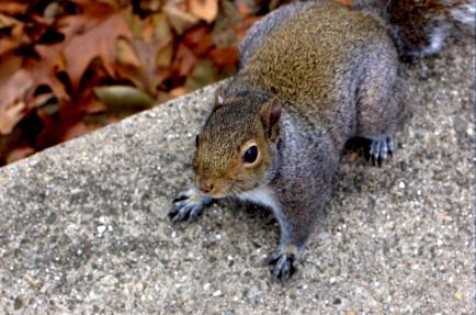 Brazen Squirrel
